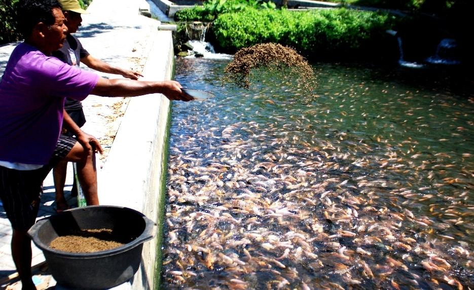 Pakan Ikan dari Bungkil Inti Sawit