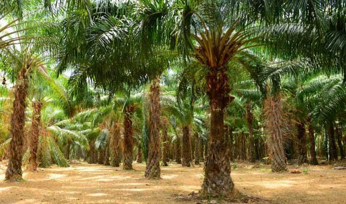 kelapa-sawit
